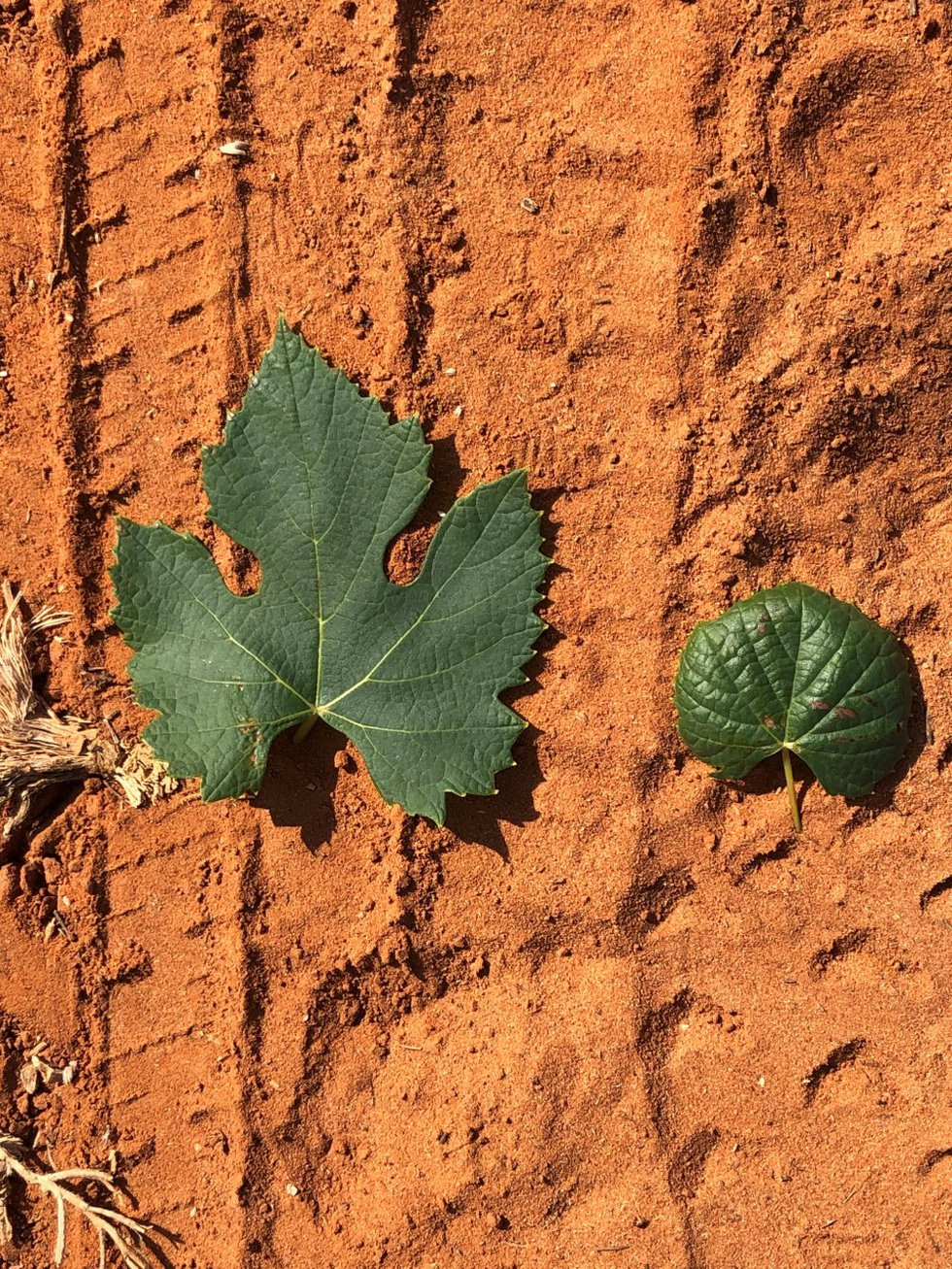 A photo shows a normal grape leaf (left) versus one claimed to be affected by the herbicide...