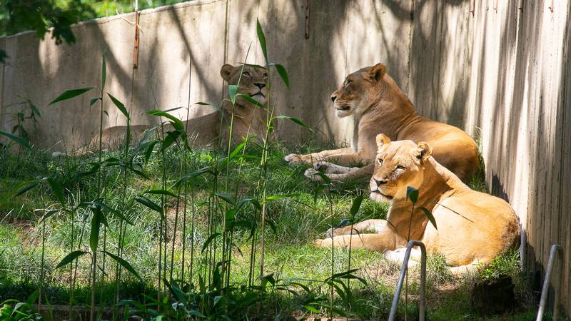 Six African lions, a Sumatran tiger and two Amur tigers have tested positive for the virus that...