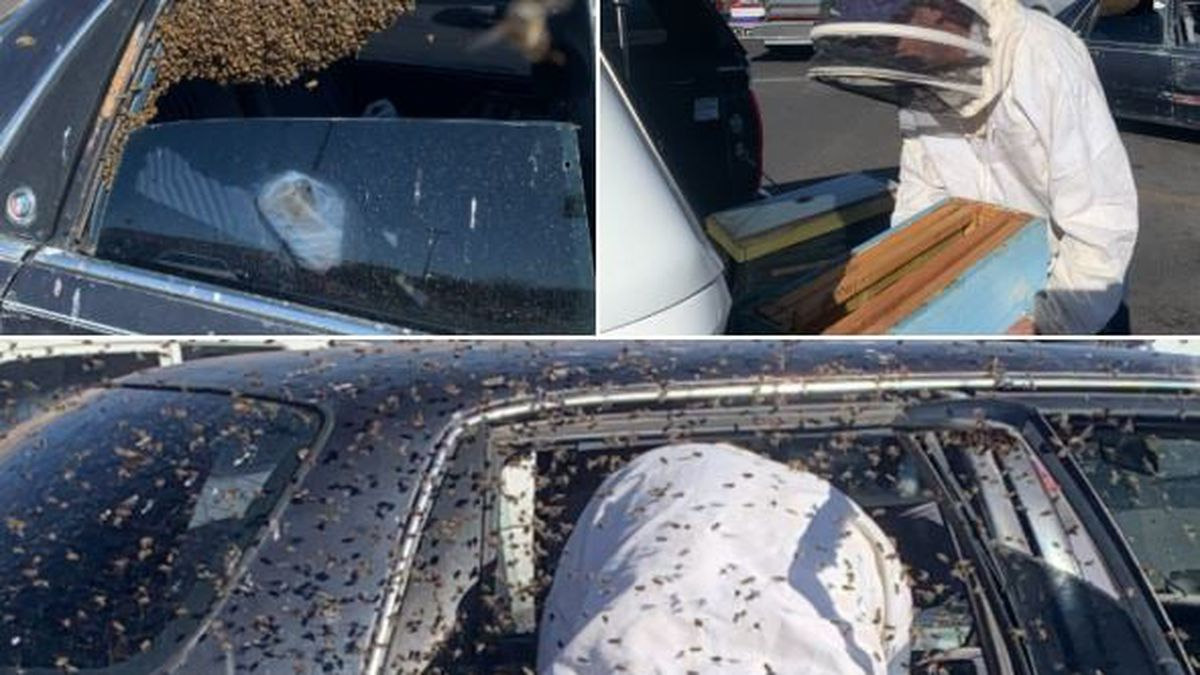 An off-duty Las Cruces firefighter safely rehomed a swarm of bees from a parked car Sunday...