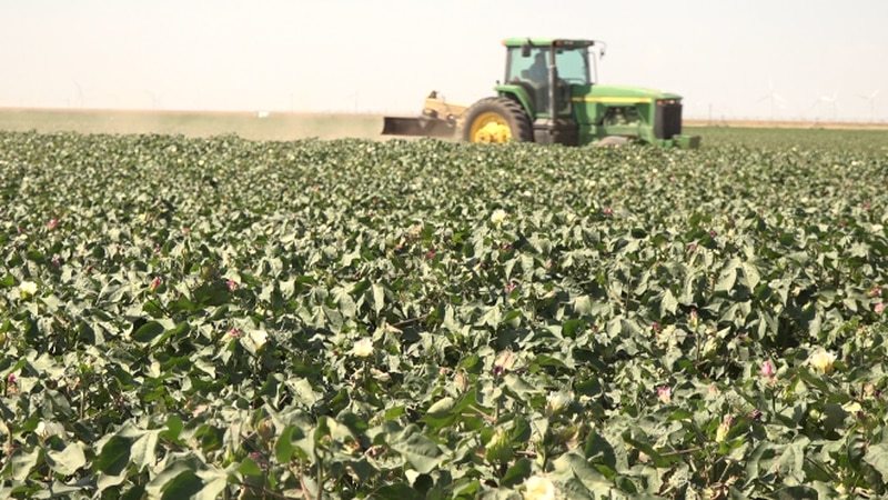 Producers saw a record year, with plentiful rains and hot days. Now, it's the final push until...