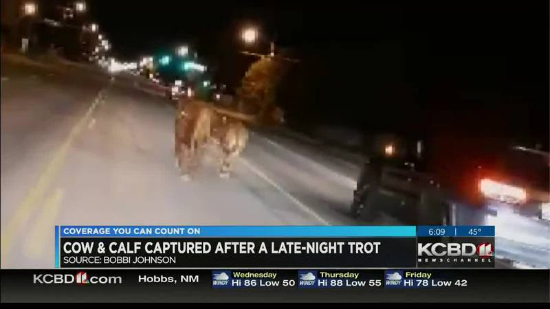 Cow, calf go for late-night trot